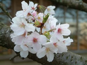 Sakurayuugata