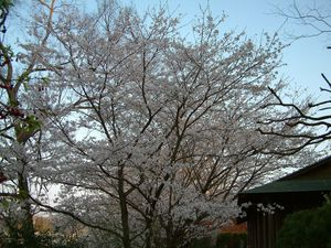 Sakurayuugata3